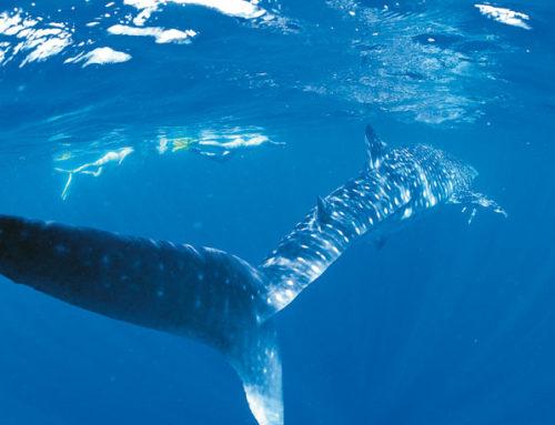 Ningaloo Reef Schwimmen mit dem Waalhai
