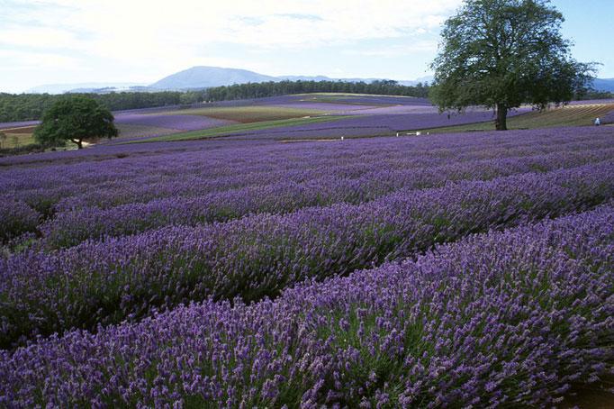 Lavendelfeld in Tasmanien von Charles Denny