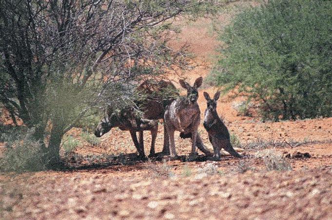 """Kangaroos in freier Wildbahn, """"Roos"""""""