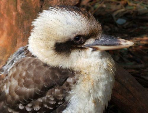Urlaub Australien: Kookaburra Alice Springs