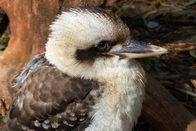 kookaburra Lets Go Australia