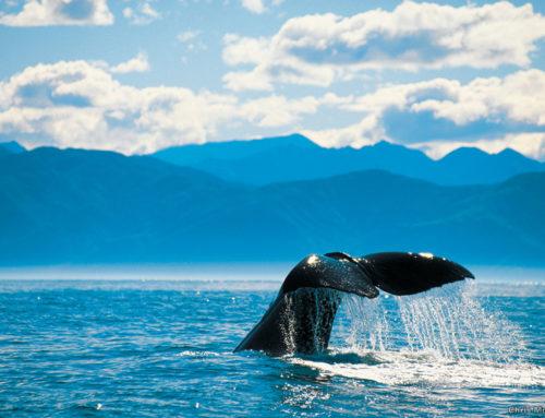 Kaikoura ist der perfekte Ort für Whale Watch