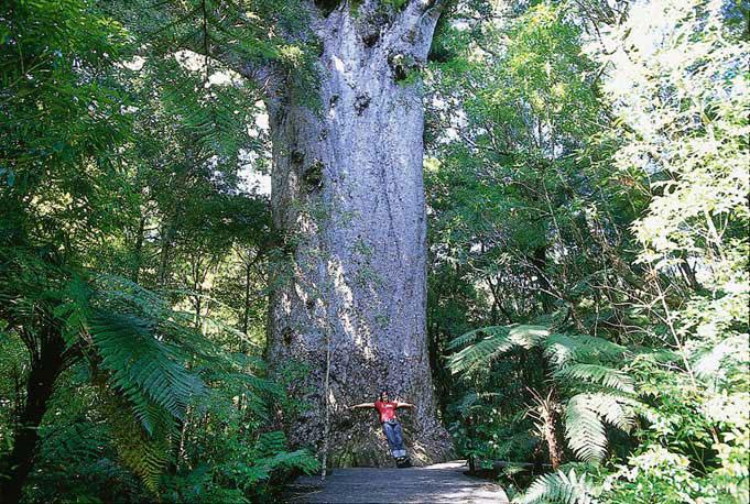 Uralte Kauri-Wälder: Kauri Coast an der Westküste der Nordinsel